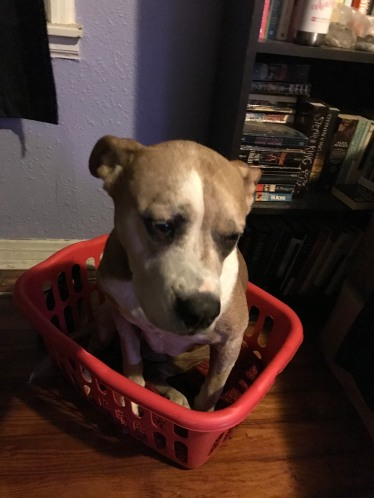 She loved putting her very big self in a very small laundry basket